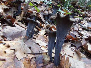 craterellus cornucopioides - trompeta de la mort