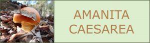 huevo de Reig- amanita caesarea - setas de primavera