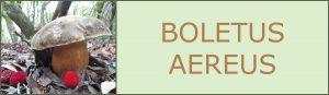 Cepas - Sureny oscuro - Boletus aereus - setas de primavera