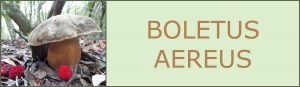 Ceps - Sureny fosc - Boletus aereus