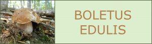 Ceps - Cep blanc - Boletus edulis