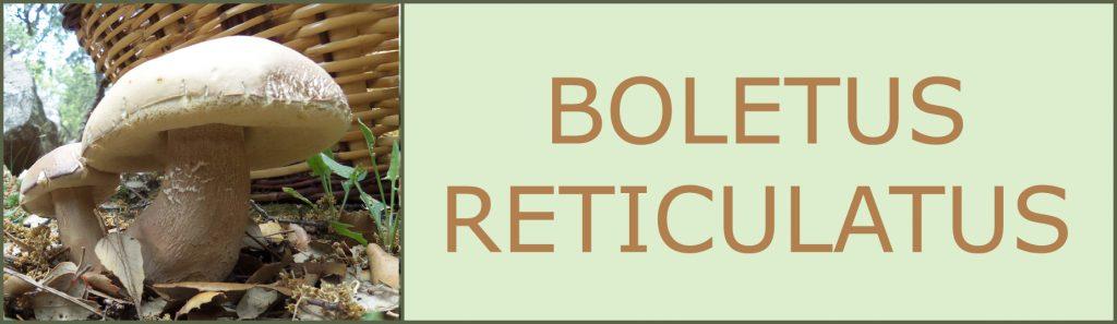 Cepas - Cep blanco - Cep d`estiu - Boletus aestivalis - Boletus reticulatus
