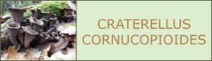 craterellus cornucopioides - bolets de primavera - trompeta de la mort - trompeta de los muertos