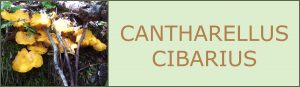 ruiseñor- cantharellus cibarius - setas de primavera