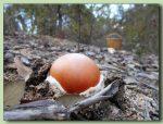 amanita caesarea - ou de reig - fotos de bolets - bolets comestibles