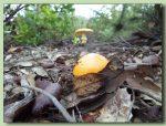 oronja - amanita caesarea - ou de reig - fotos de bolets - bolets comestibles