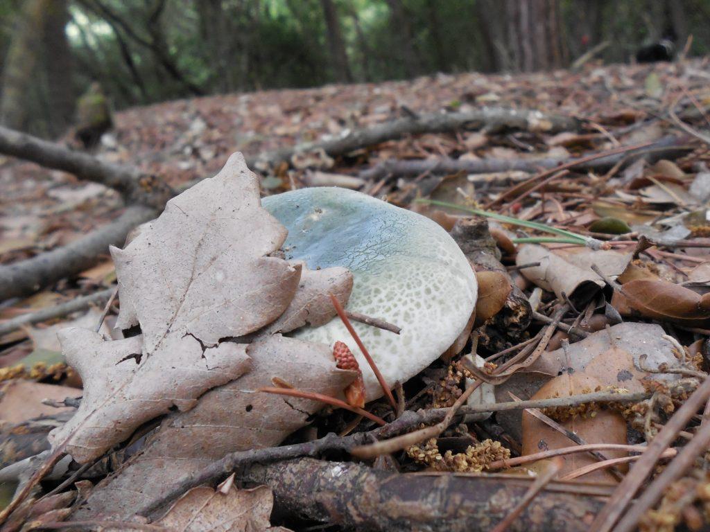 russula virescens - gorro verde - llora verda