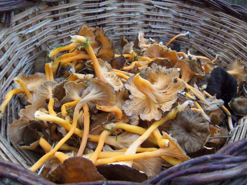 camagroc - cantharellus lutescens